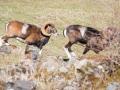 Mouflon-7761