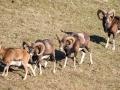 Mouflon-7789