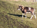 Mouflon-7815