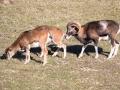 Mouflon-7824
