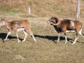 Mouflon-7878