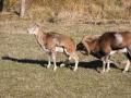 Mouflon-7882