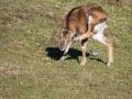Mouflon-7885