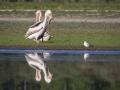 Pélican blanc-4443