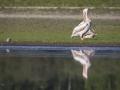 Pélican blanc-4448