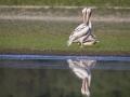 Pélican blanc-4452