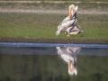 Pélican blanc-4454
