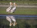 Pélican blanc-4463