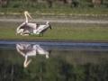 Pélican blanc-4466