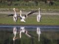 Pélican blanc-4476