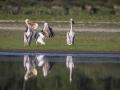 Pélican blanc-4479