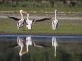 Pélican blanc-4490