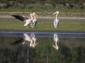 Pélican blanc-4496