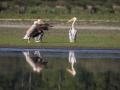 Pélican blanc-4498