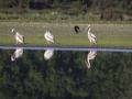 Pélican blanc-4529
