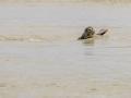 Phoque baie de Somme-4.jpg