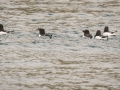 Pingouin torda-0287-2