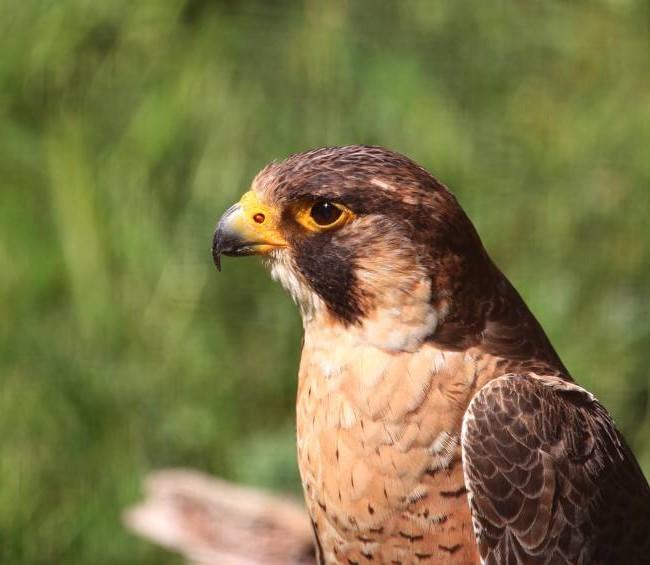 Faucon-crécerelle-1.jpg